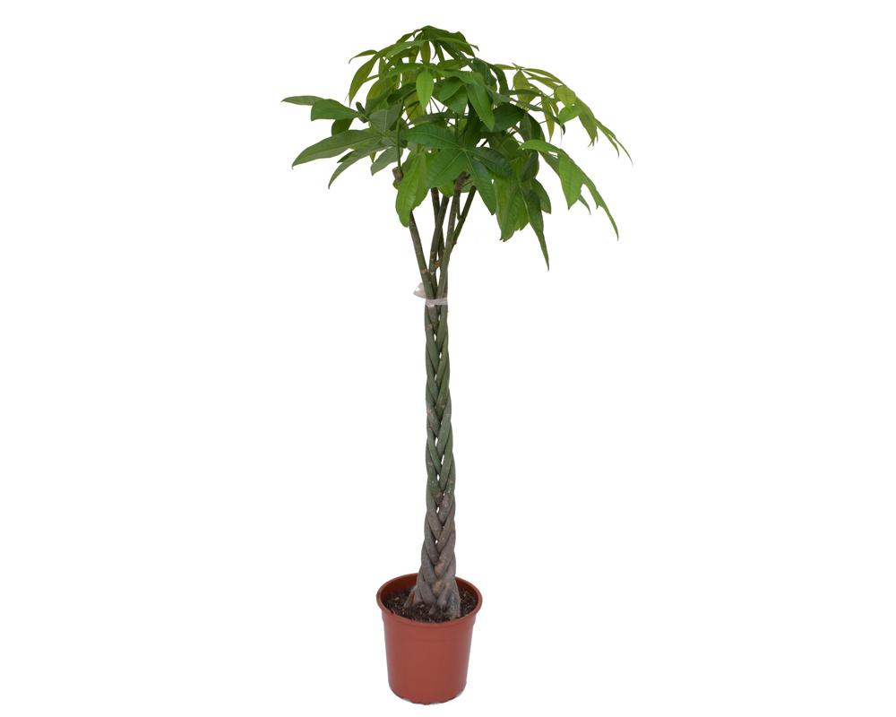 pachira acquatica vaso 30 150h piante da interno verdi 2