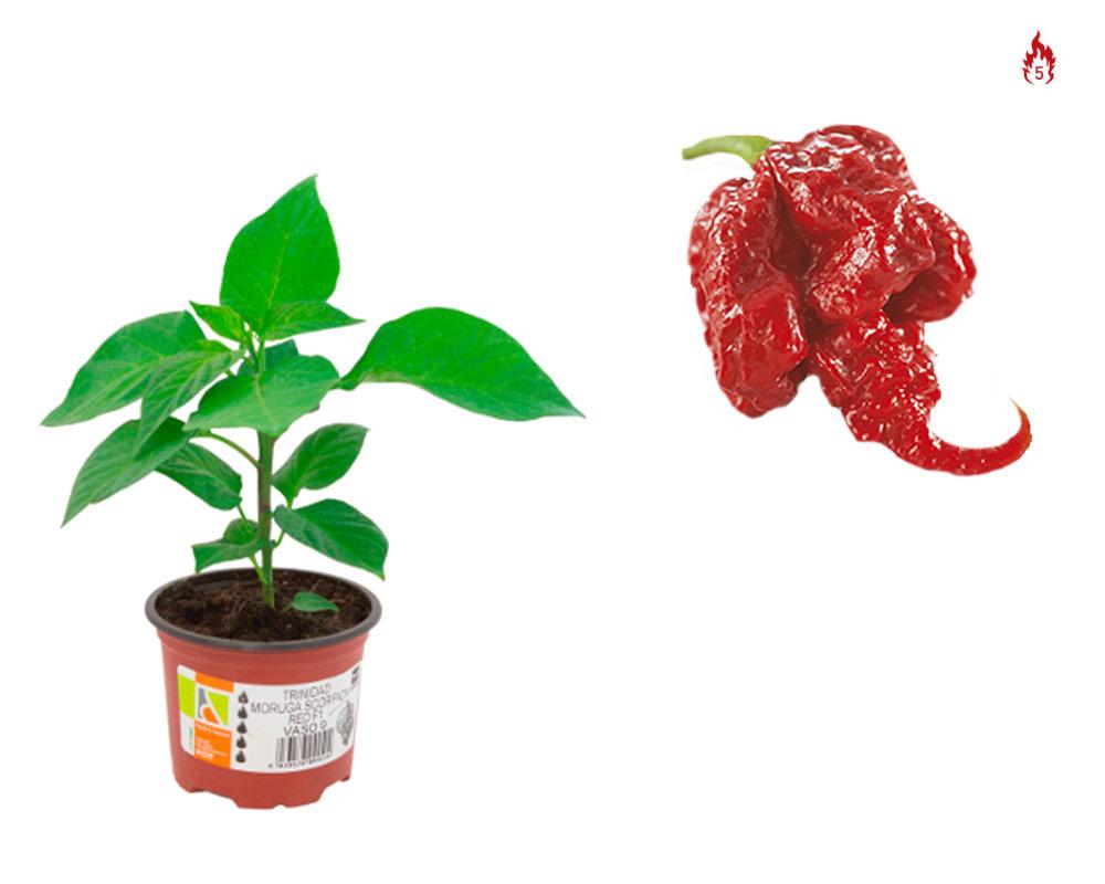 peperoncino carolin reaper eco faber piante e passione1 2 1