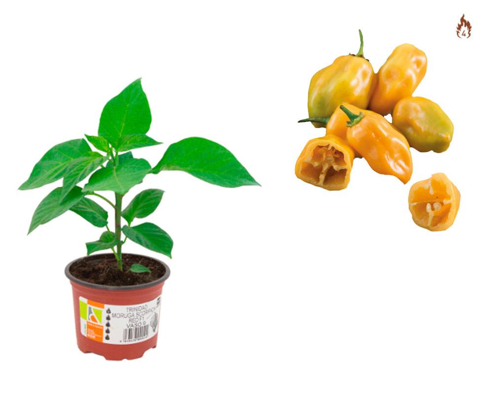 peperoncino habanero yellow innestato eco faber piante e passione 2 1