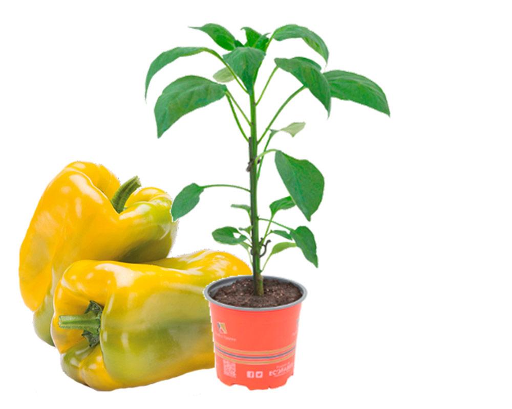 peperone favalor giallo 1