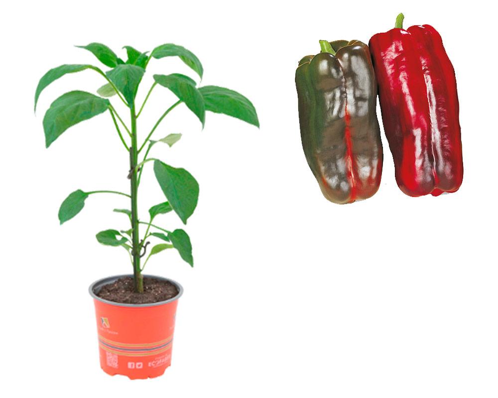 peperone rosso minipack 12 ortaggi il moio orto i sapori del mio orto 1
