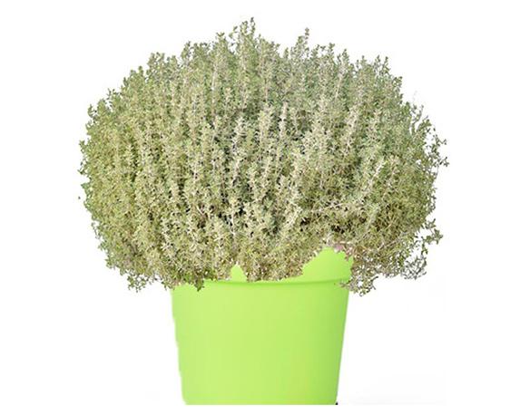 pianta timo variegato bianco 1