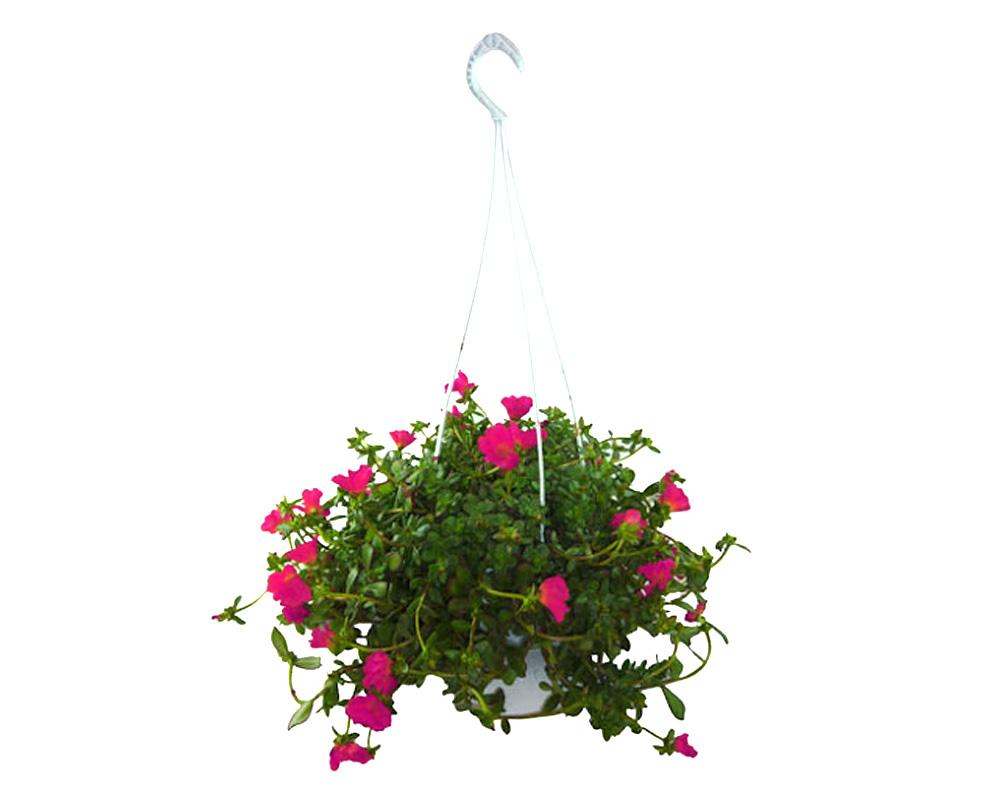 portulaca basket fiorite vivaio v20 2 1