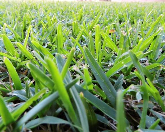 prato gramignone 50 mq prato a zolle florida prato pronto 50mq Bindi 1.jpg1 1