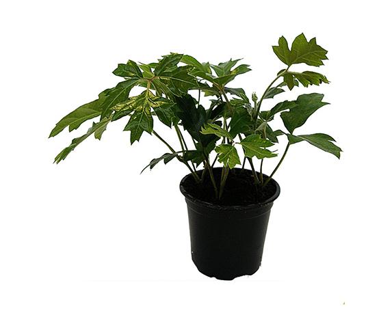 rhoicissus ellen danica young plant 1