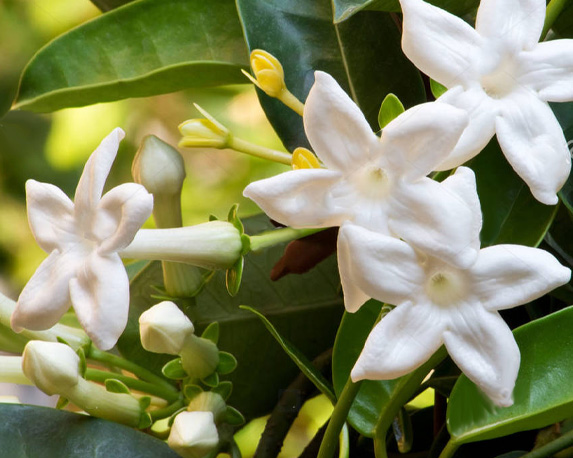 stephanotis 1