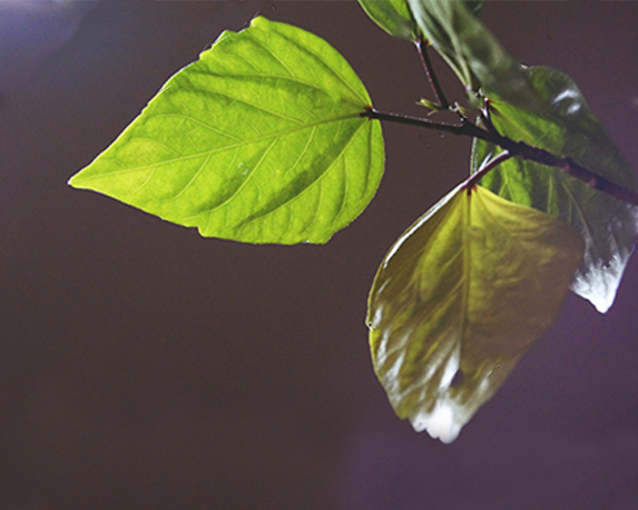 stock photo rhoicissus rhomboidea green leaves against the light on a dark background 1084509386 1