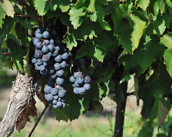 vite uva vigna vitis vinifera francese uva da tavola alphonse lavallee vaucluse provence france bryptc 1