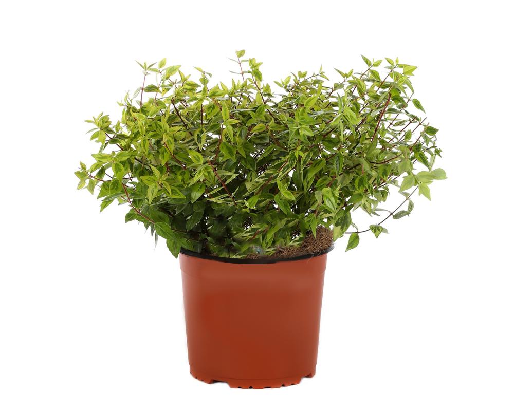 ABELIA VARIEGATA vaso 20 piante da esterno piante da siepe