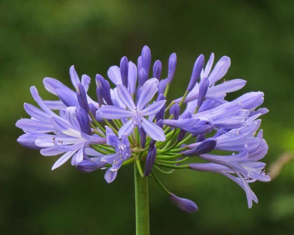 AGAPANTHUS Vaso 20 piante da esterno piante fiorite viola