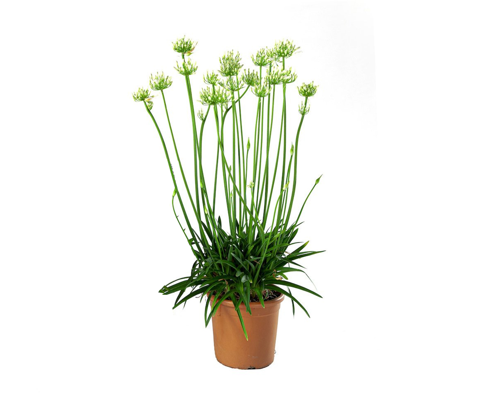 AGAPANTHUS Vaso 20 piante da esterno piante fiorite