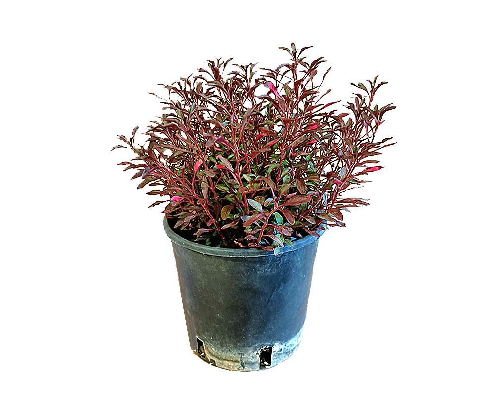 ALTERNANTHERA vaso 16 piante da esterno verdi