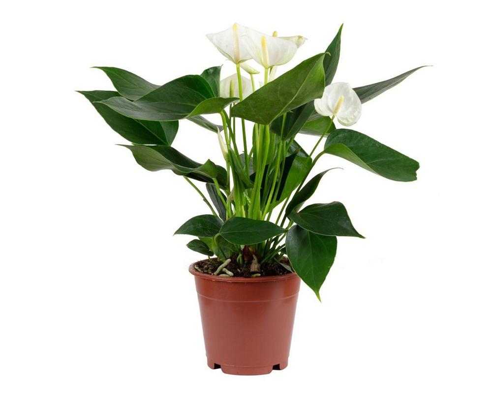 ANTHURIUM ANDREANUM BIANCO vaso 17 piante fiorite da interno