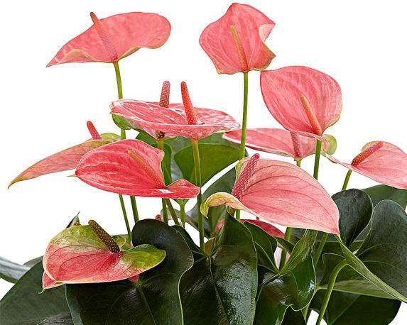 ANTHURIUM ANDREANUM ROSA vaso 17 piante fiorite da interno dettaglio