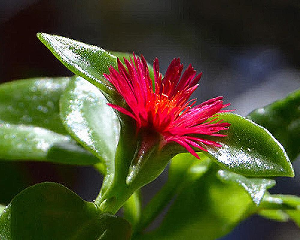 APTINEA vaso 15 piante da giardino succulente fiorite 2 1