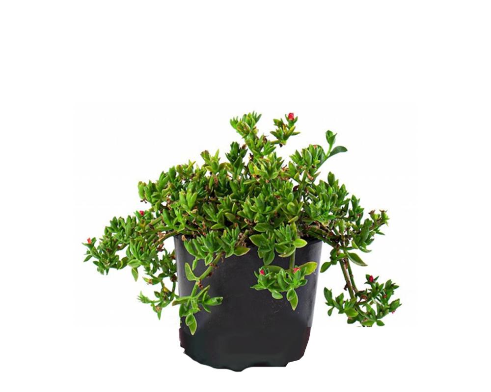 APTINEA vaso 15 piante da giardino succulente fiorite