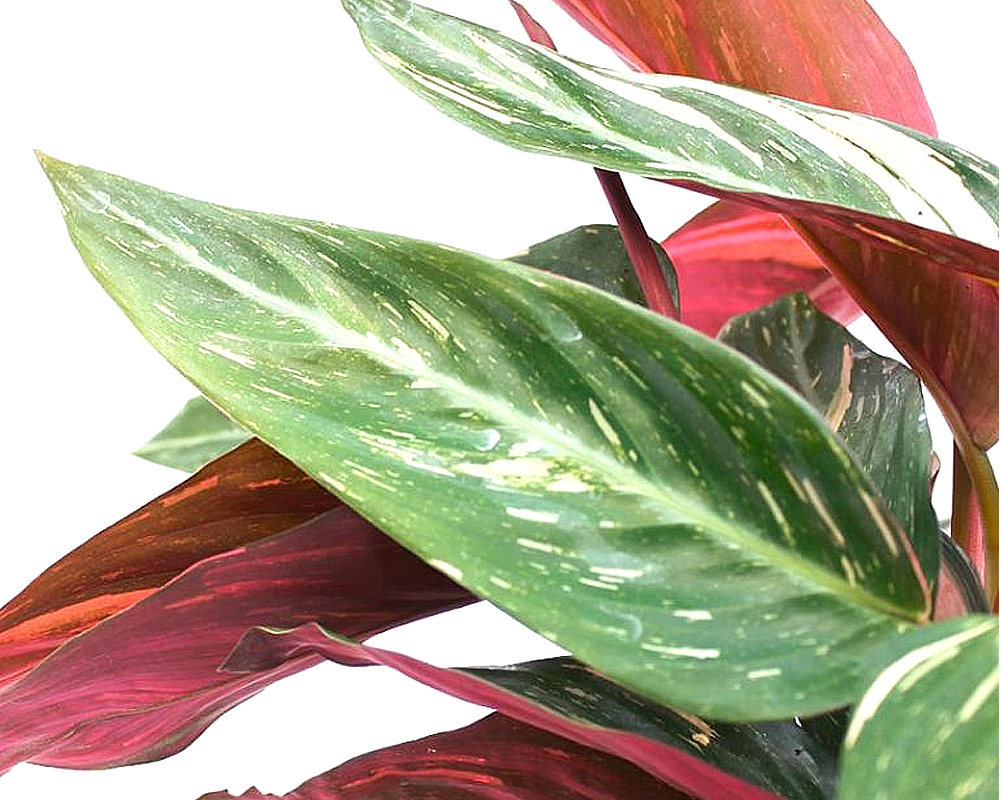 CALATHEA magicstar piante da interno piante verdi vaso 18