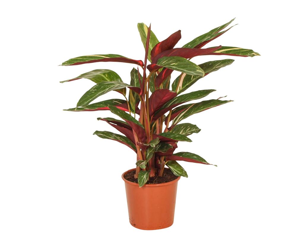 CALATHEA magicstare piante da interno piante verdi vaso 18