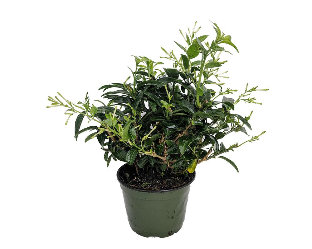 CESTRUM NOCTURNUM Vaso 20 pante da esterno piante fioritie
