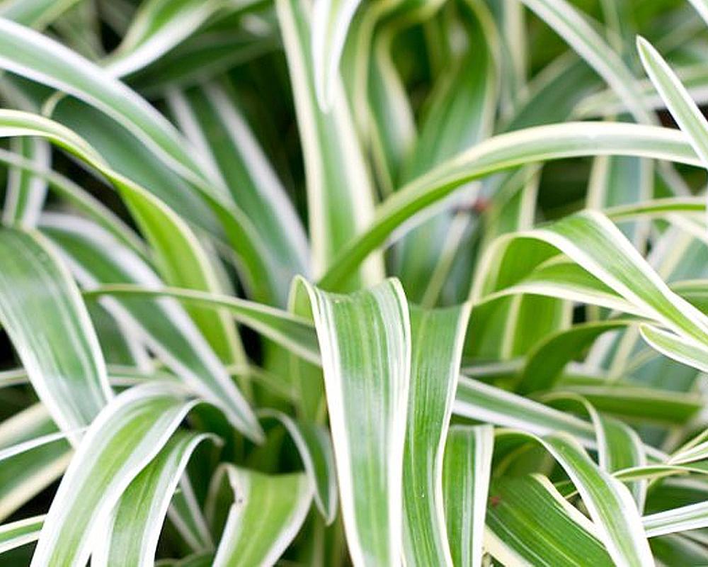 CHLOROPHYTUM comosum vaso 13 piante da interno serra calda oz planten piante verdi dettaglio