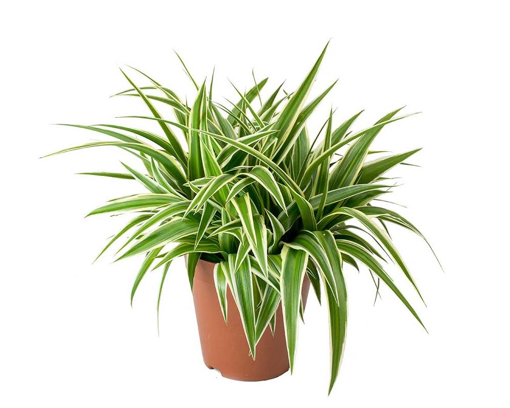CHLOROPHYTUM comosum vaso 13 piante da interno serra calda oz planten piante verdi