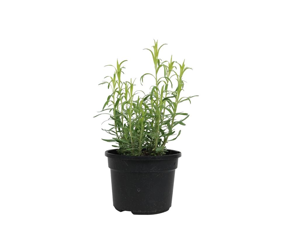 Dragoncello vaso 14 piante aromatiche officinali il mio orto