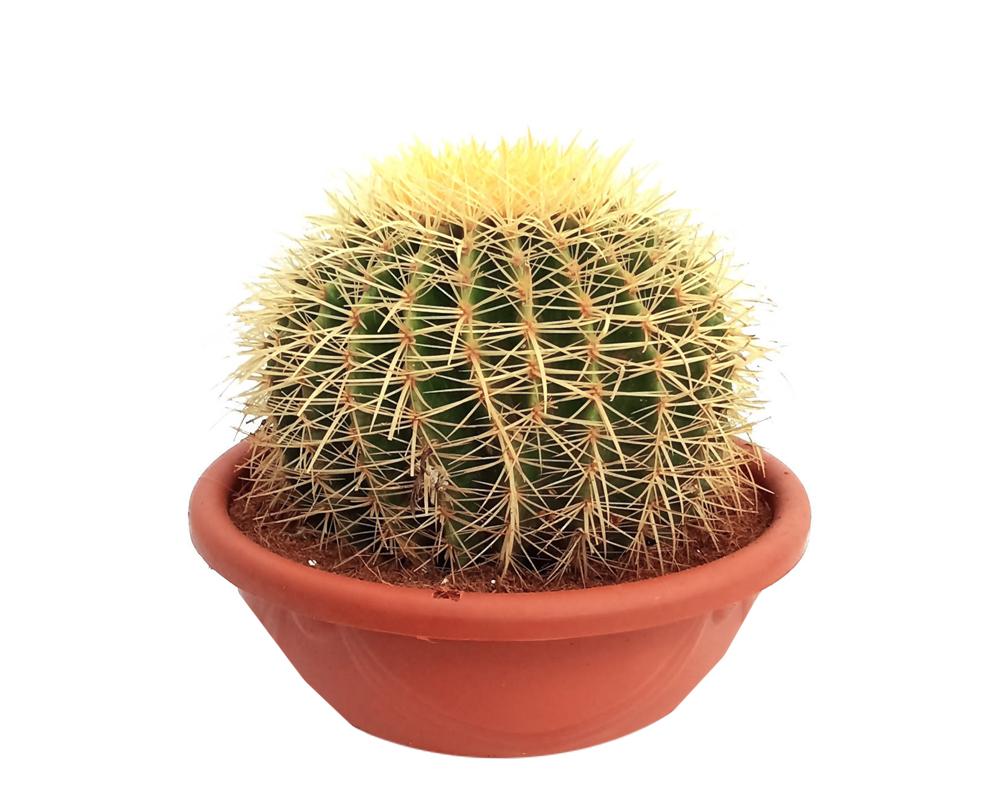 ECHINOCACTUS GRUSONI BREVISPINUS vaso 25 piante grasse 2 1