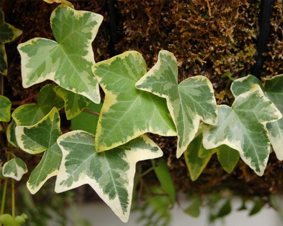 EDERA HELIX Vaso 20 rampicante verdi piante da esterno 2