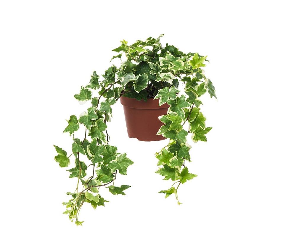EDERA HELIX Vaso 20 rampicante verdi piante da esterno
