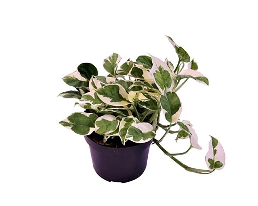 EPIPREMNUM AUREUM NJOY vaso 12 piante da interno appartamento piante da serra oz planten