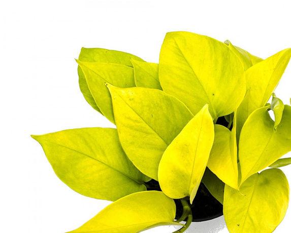 EPIPREMNUM GOLDEN POTHOS VASO 12 OZ PLANTEN piante da serra 2