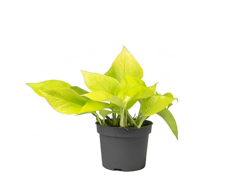 EPIPREMNUM GOLDEN POTHOS VASO 12 OZ PLANTEN piante da serra