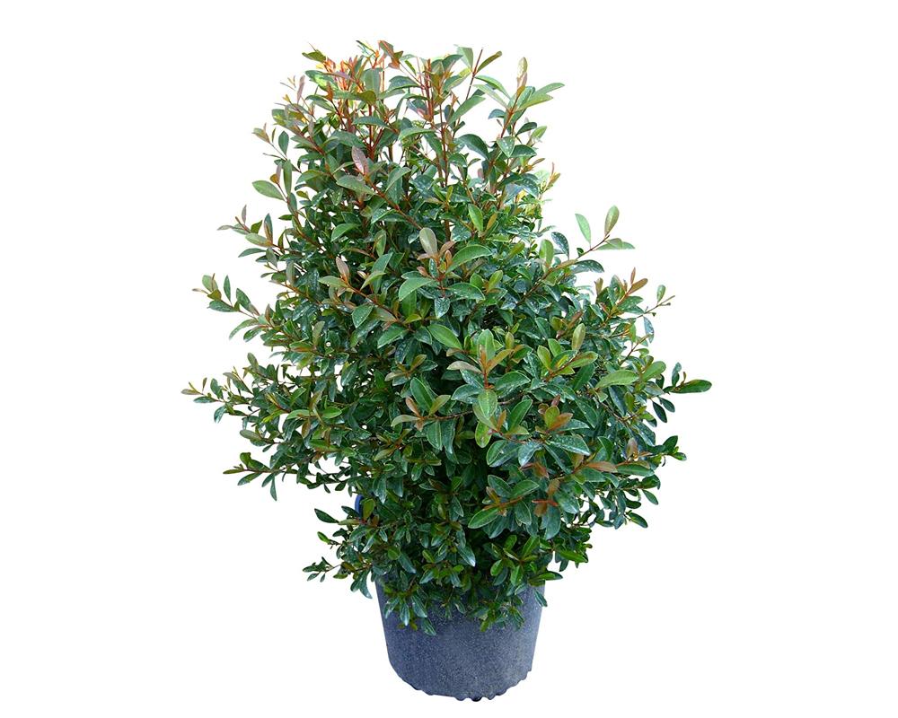 EUGENIA MYRTIFOLIA COMPACTA vaso 24 piante da esterno piante da siepe de