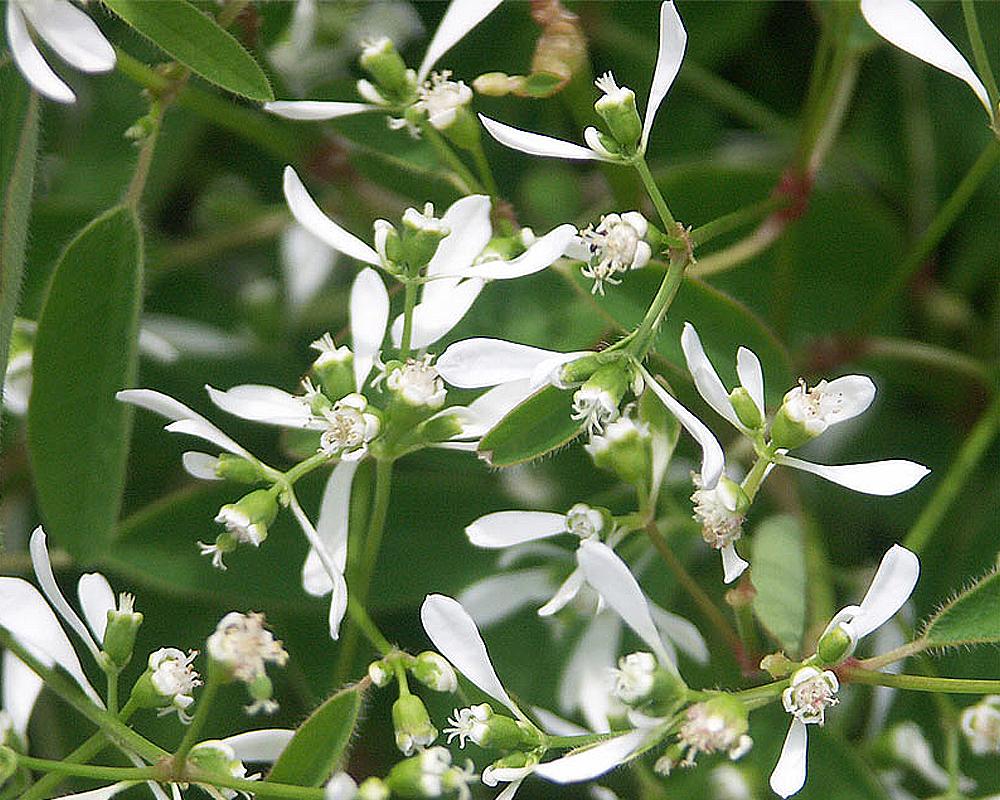 EUPHORBIA HYPERICIFOLIA vaso 19 piante e fiori piante e vivaio 2