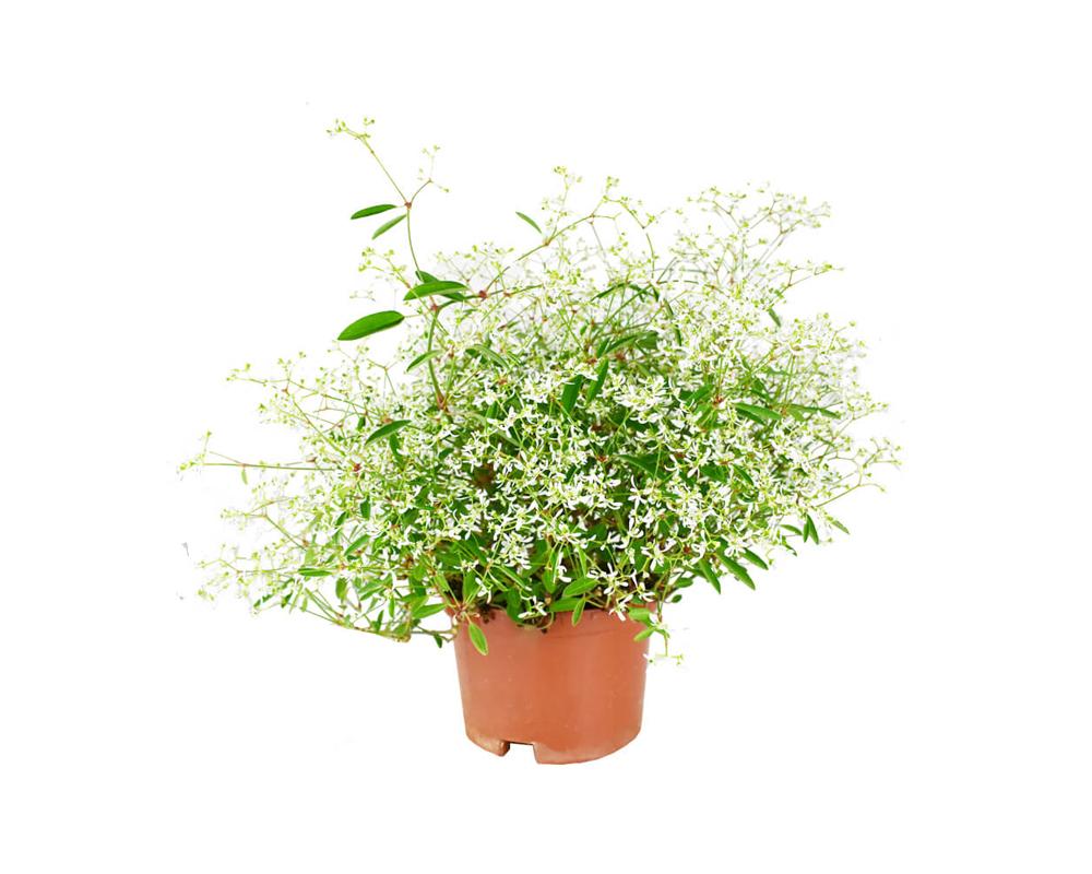 EUPHORBIA HYPERICIFOLIA vaso 19 piante e fiori piante e vivaio