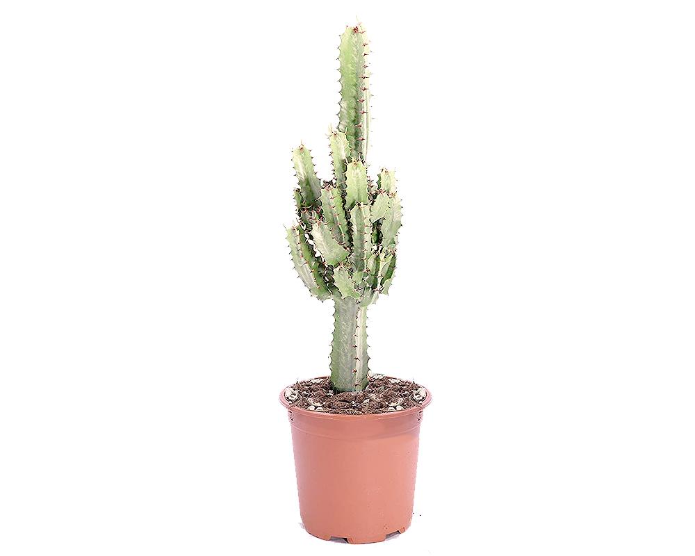 EUPHORBIA marmorata vaso 20 piante grasse piante e fiori