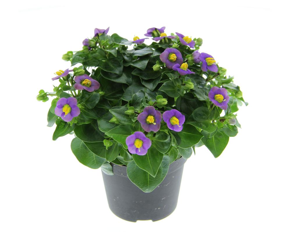 EXACUM vaso 14 piante fiorite o da vivaio