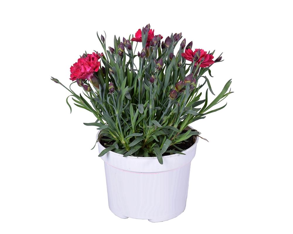 GAROFANO DIANTHUS A FIORE GRANDE vaso 12 piante fiorite piante da esterno
