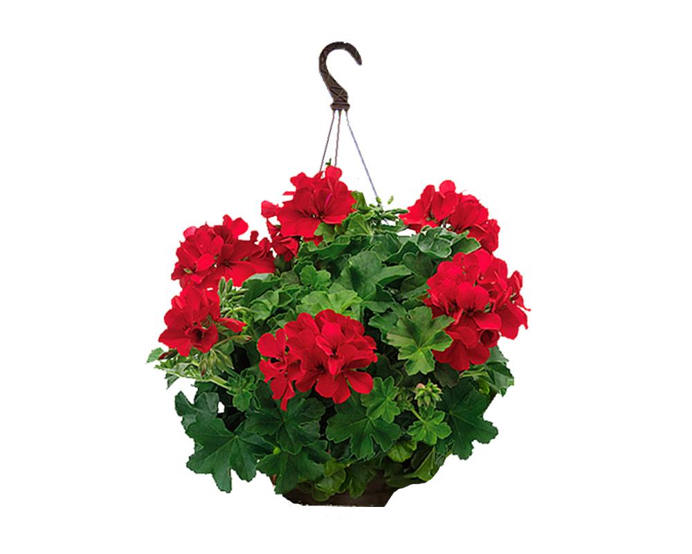 GERANIO interspecifico in basket piante da vivaio piante fiorite