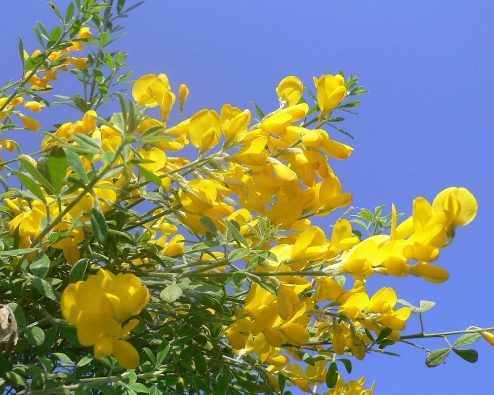 GINESTRA vaso 16 piante fiortie piante esterno 2