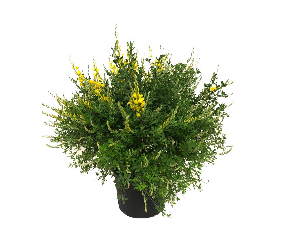 GINESTRA vaso 16 piante fiortie piante esterno
