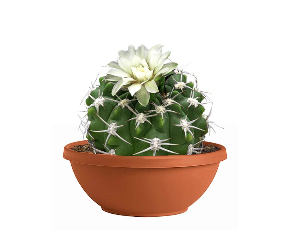 GYMNOCALYCIUM vaso 25 piante grasse piante e fiori 2