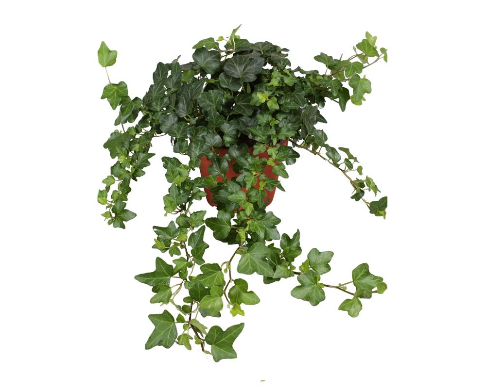 HEDERA MIX vaso 18 piante ricadenti rampicanti verdi 2