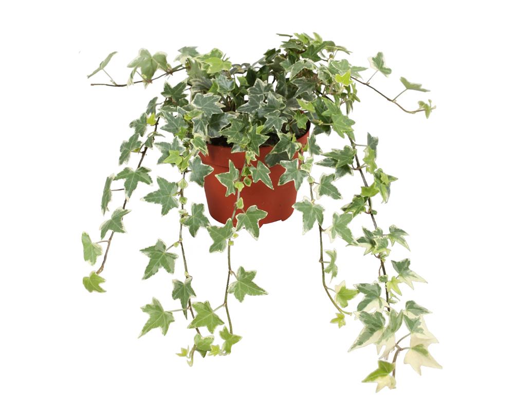 HEDERA MIX vaso 18 piante ricadenti rampicanti verdi eva