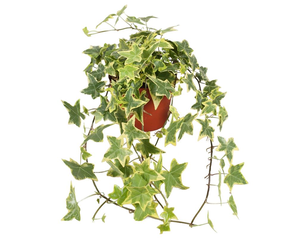 HEDERA MIX vaso 18 piante ricadenti rampicanti verdi