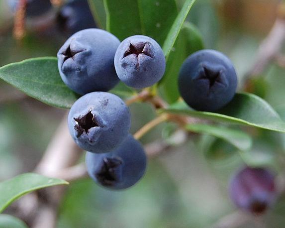 MIRTO COMUNE LUMA vaso 18 piante da esterno piante da bosco frutti di bosco bacche dettaglio