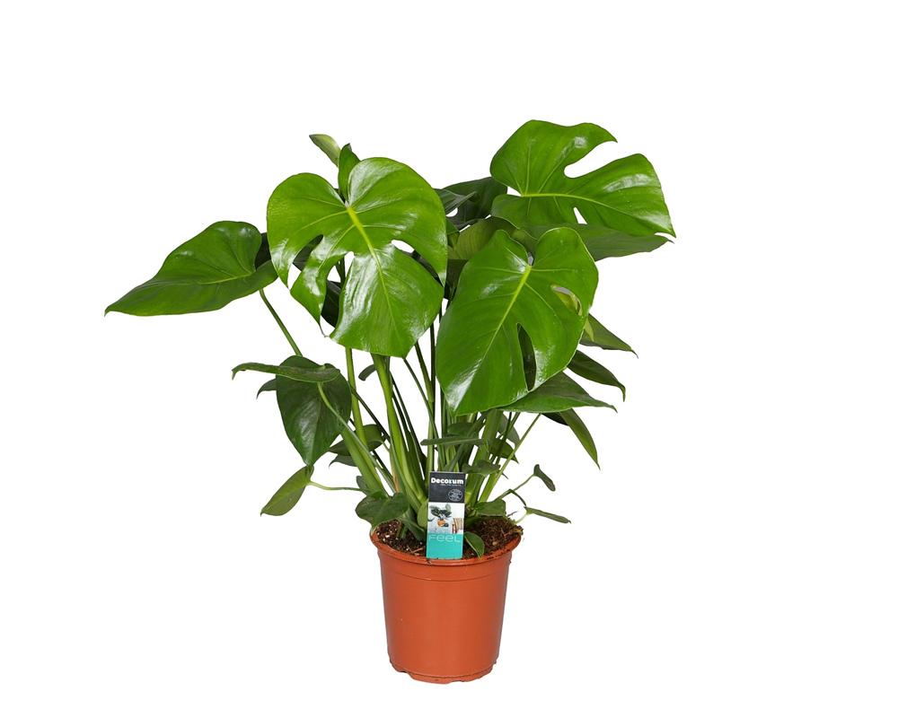 MONSTERA vaso 21 piante verdi da serra calda Oz Planten