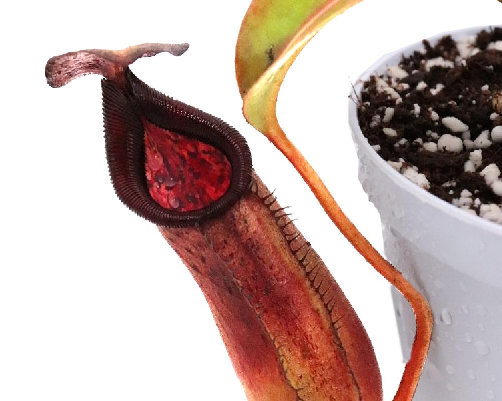 NEPENTHES vaso 14 in basket piante carnivore da interno dettaglio