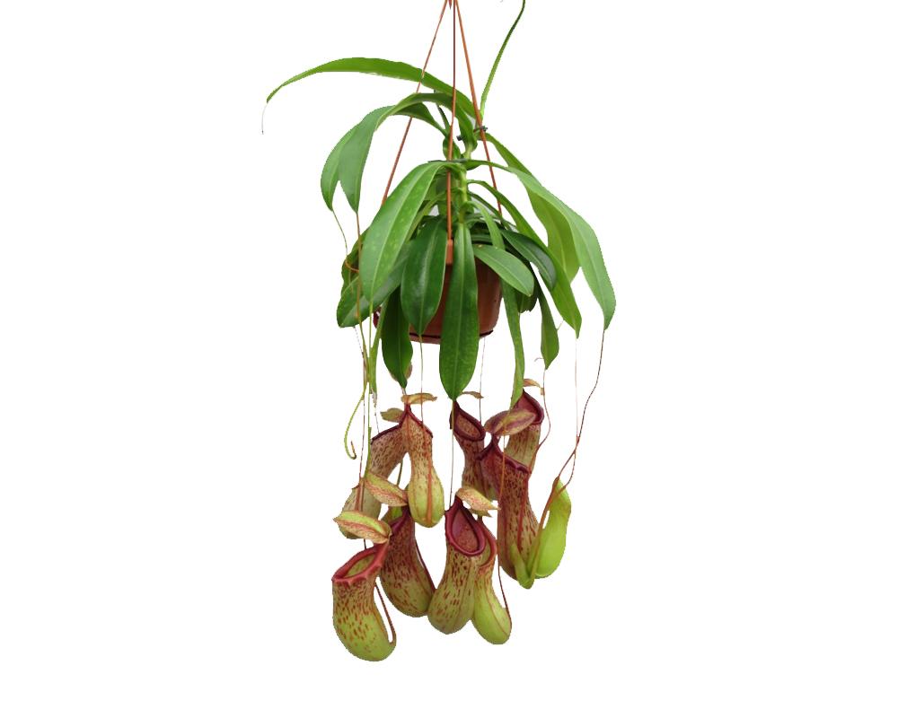 NEPENTHES vaso 14 in basket piante carnivore da interno