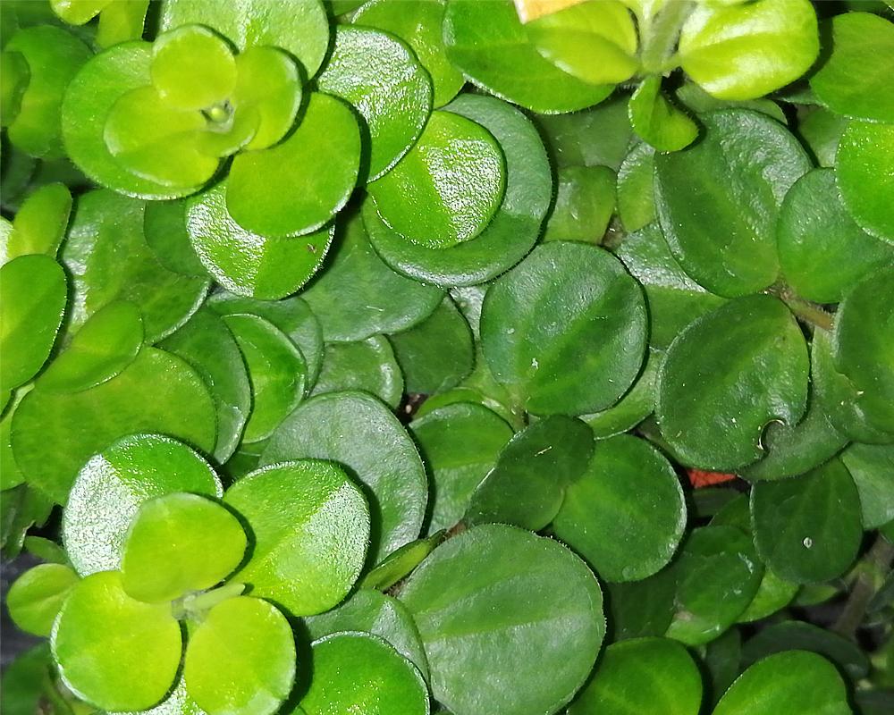 PEPEROMIA ROTUNDIFOLIA vaso 12 piante verdi piante da serra piante da interno oz planten dettaglio
